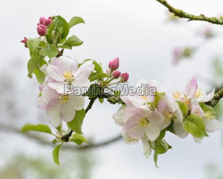 baum blume pflanze gewaechs frische apfelbaum