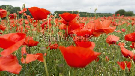 deutschland feld der roten mohnblumenblumen