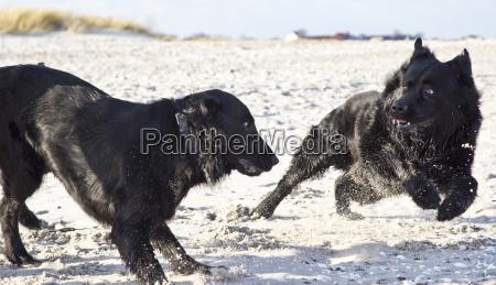 zwei schwarze hunde spielen am strand