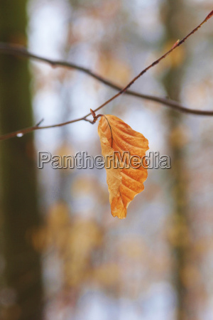 germany dried beech tree in forest