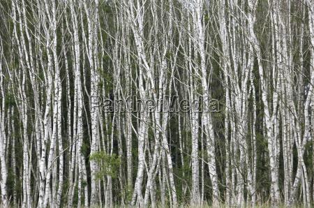 deutschland sachsen birken im sommer