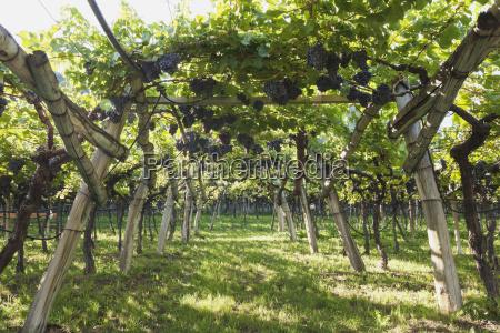 italy south tyrol kaltern blue grapes