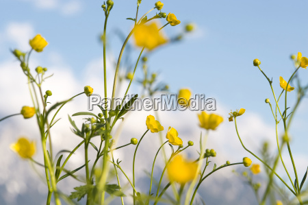 germany upper bavaria buttercup flowers