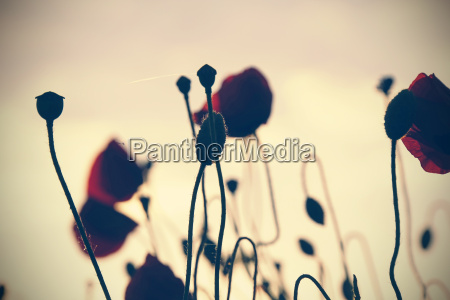 rote mohnblumen papaver rhoeas bei daemmerung