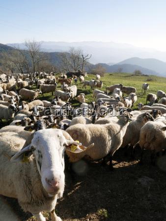 spain catalonia pyrenees flock of sheep