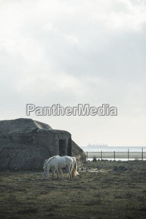 spain andalusia tarifa two grazing horses