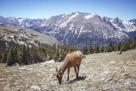 usa colorada elk at rocky mountain