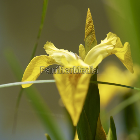 germany hesse iris pseudacorus flower close
