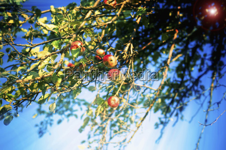germany saxony fresh apples on tree
