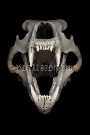 skull of polar bear ursus maritimus
