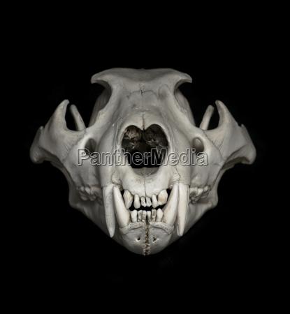 skull of lion panthera leo in