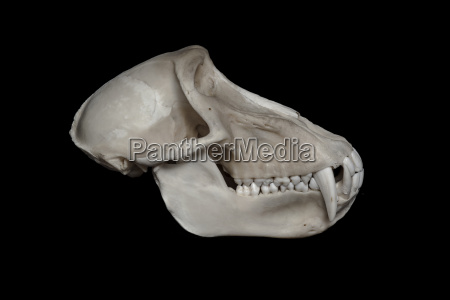 skull of baboon papio in front
