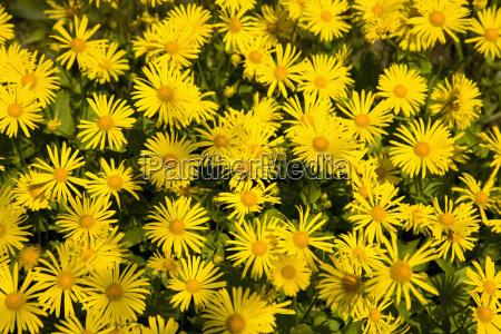 germany wuerzburg yellow flowers in garden