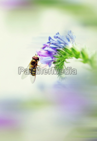 italy macro catch of overfly pollinating