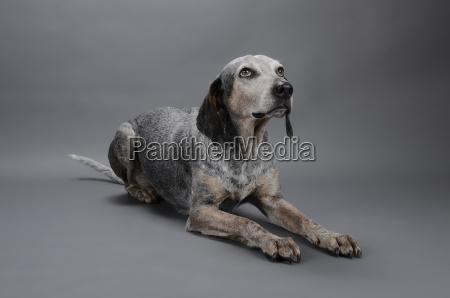 cane di razza mista guardando lontano