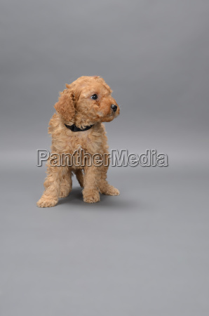 brown miniature poodle on grey background