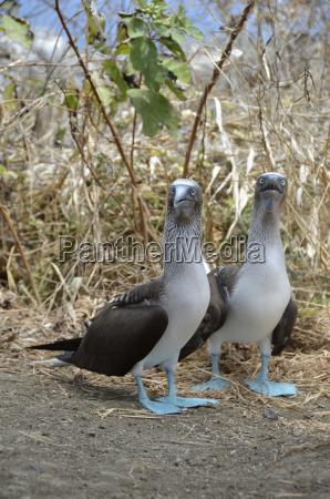 ecuador blue footed booby birds perching