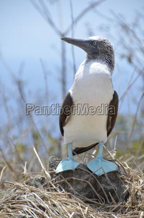 ecuador blue footed booby bird perching