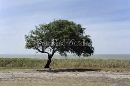 australia south australia meningie lonesome tree