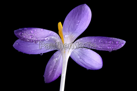crocus with water drops in front