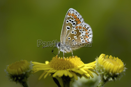 germany brown argus butterfly aricia agestis