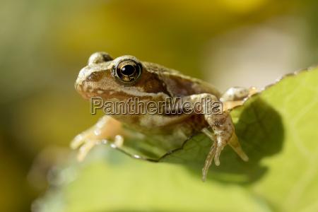portraet des gemeinsamen frosches rana temporaria