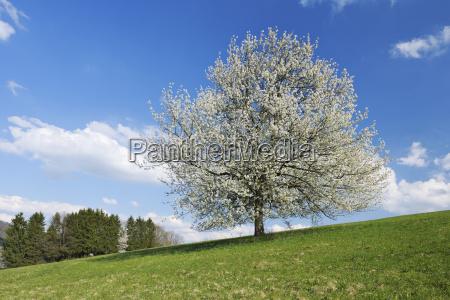 deutschland bayern kirschbaumbluete im feld