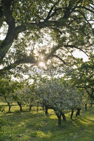 germany bavaria fruit trees in blossom