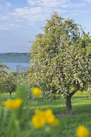 germany bavaria cherry trees in blossom