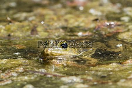 deutschland hessen mannheim frosch im teich