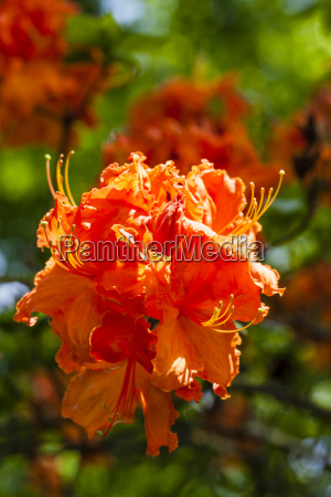 germany baden wuerttemberg mannheim rhododendron close