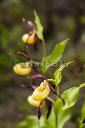 germany hesse yellow ladys slipper flower