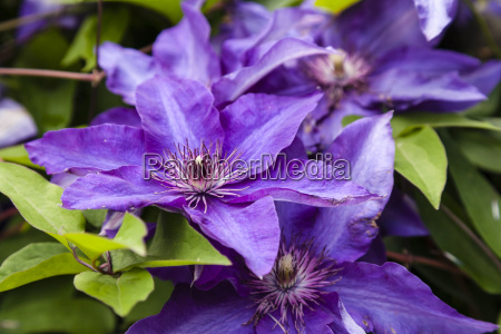germany hesse clematis flower close up