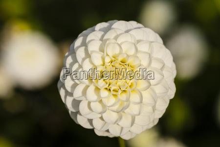 germany hesse dahlia flower head close