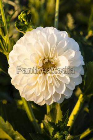 germany hesse dahlia flower close up