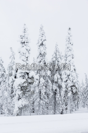 finland snow capped trees