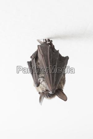 particoloured fledermaus vespertilio murinus