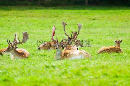 stags im gras sitzen
