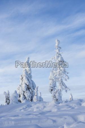 scandinavia finland rovaniemi trees in wintertime