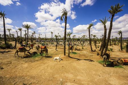 morocco marrakesh tensift el haouz camels