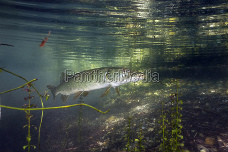 germany bavaria northern pike in a