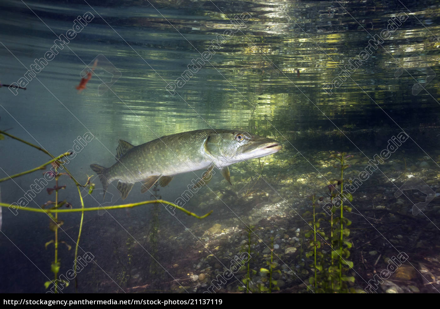 germany, , bavaria, , northern, pike, in, a - 21137119