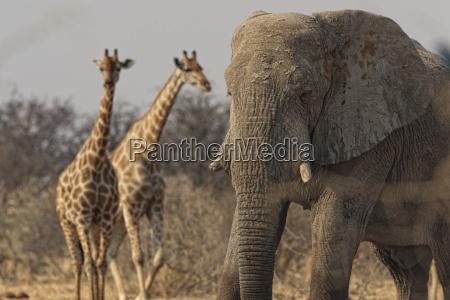 namibia giraffes and elephant in etosha
