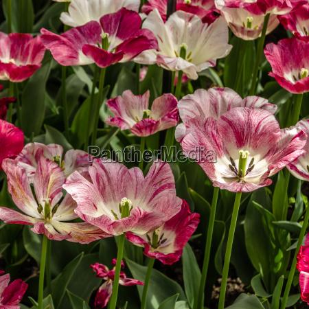 rosa tulip blumenbeet