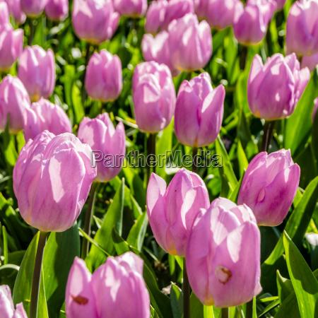 rosa tulpenblumenbett