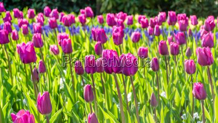 fruehjahr blume pflanze tulpe