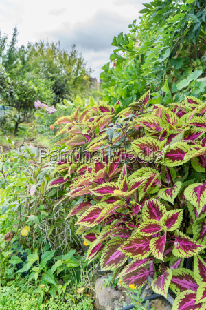 tropical garden with solenostemon colorful nettles
