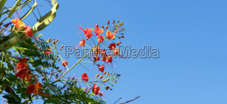 detail of a flowering flame tree