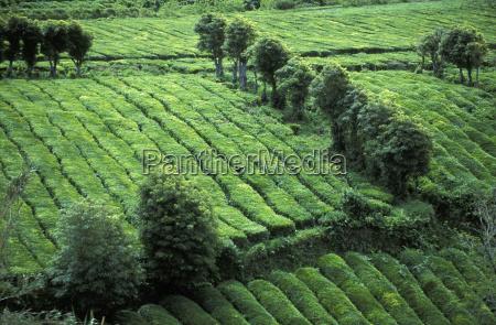 te agricola arbol agricultura campo horizontalmente