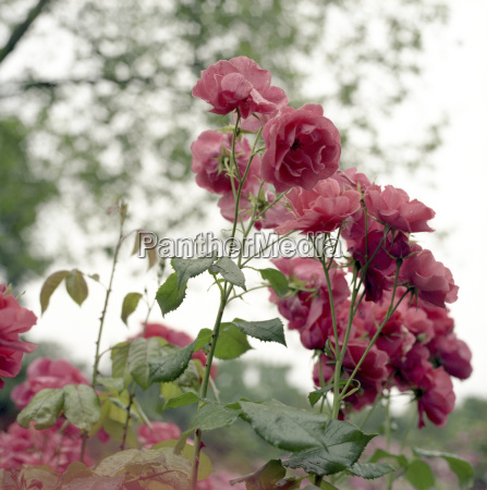 rosenpflanzen